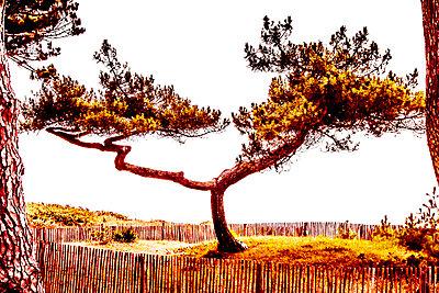 Kiefer am Meer - p1543m2291593 von Sophia Snadli