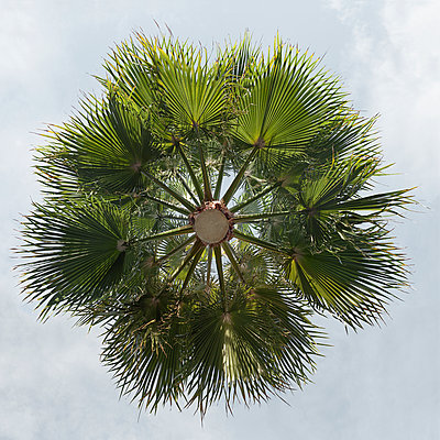 Hovering washington palm tree - p824m2116926 by jochen leisinger
