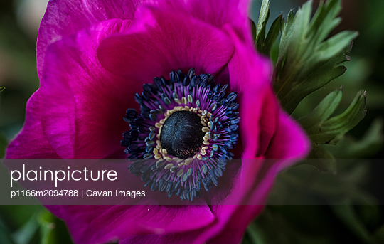 Close up of a purple anemone flower. - p1166m2094788 by Cavan Images