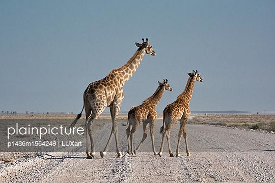 Giraffen auf der Straße - p1486m1564249 von LUXart