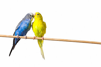 Two budgies on a perch - p4422896f by Design Pics