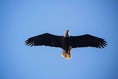 Low angle view of bald eagle flying against clear blue sky - p1166m1524949 by Cavan Images
