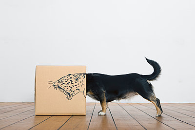 Roaring dog inside a cardboard box painted with a leopard - p300m1450063 by Petra Stockhausen