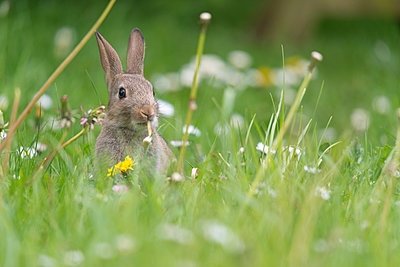 Baby rabbit eating the stem of a dandelion in a spring meadow. - p1433m2013892 by Wolf Kettler