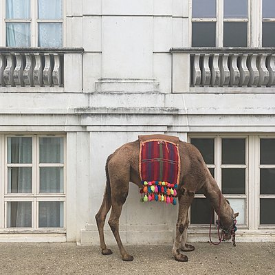 Dromedary in front of residential building, Axe Majeur, Paris - p1401m2176528 by Jens Goldbeck