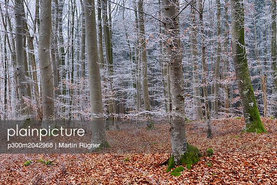 Hoar-frost at beech forest - p300m2042968 von Martin Rügner