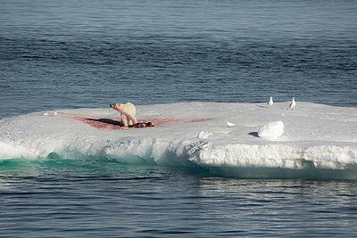 Eisbär mit erlegter Robbe - p1486m1564275 von LUXart