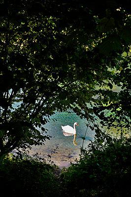Schwan auf dem See - p8760028 von ganguin