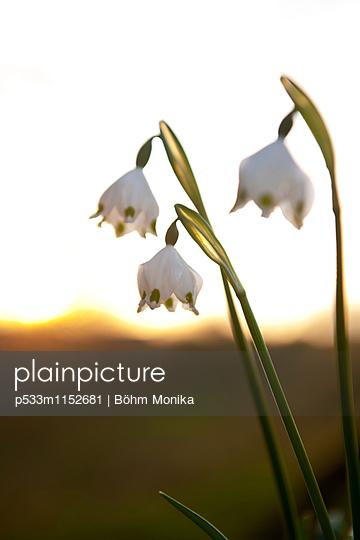 Frühlings-Knotenblumen im Sonnenuntergang - p533m1152681 von Böhm Monika