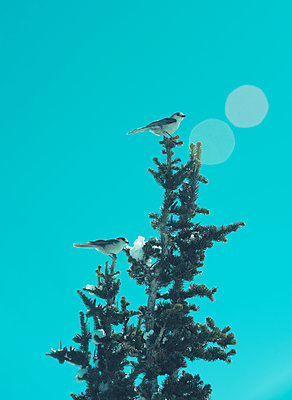 Two White Birds Atop a Fir Tree Against Blue Sky - p1617m2264069 by Barb McKinney