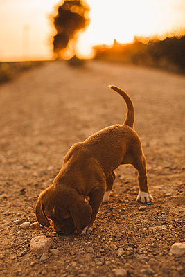 Brown puppy standing on a path smelling something at sunset - p300m2024029 by Aitor Carrera Porté