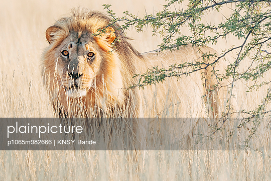 Ein männlicher Löwe, Kalahari, Südafrika - p1065m982666 von KNSY Bande