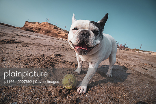 French bulldog playing with a tennis ball on the beach - p1166m2207892 by Cavan Images