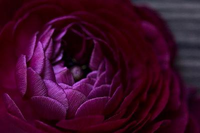 Purple anemone flower blooming in spring - p1166m2094722 by Cavan Images