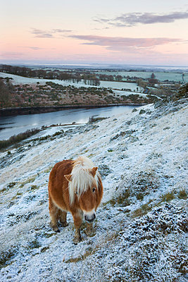 Shetland pony grazing on the snow covered moorland above Meldon Reservoir, Dartmoor National Park, Devon, England, United Kingdom, Europe - p871m711396 by Adam Burton