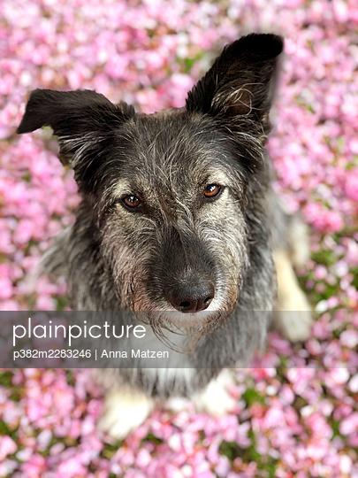 Braver Hund - p382m2283246 von Anna Matzen