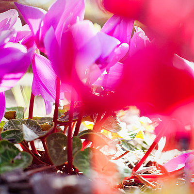 Vibrant magenta Cyclamen in bloom; close-up - p301m844050f by Erika Pino