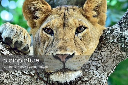 A young lion rests in a tree branch - p1166m2141027 by Cavan Images