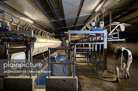 Farmer operating modern milking machine in early morning, Wyns, Friesland, Netherlands - p429m2069160 by Mischa Keijser