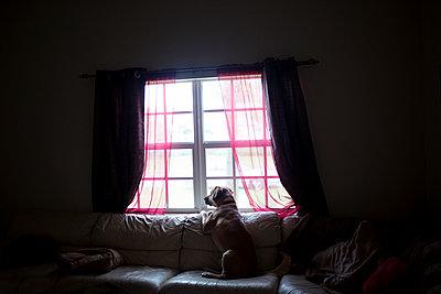Hund am Fenster - p1308m1143914 von felice douglas