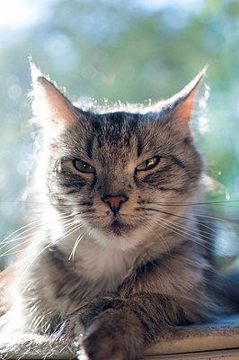 Katze auf Liegeplatz - p299m1057718 von Silke Heyer