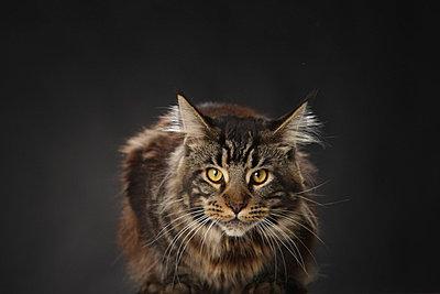 Maine-Coon-Katze - p4030970 von Helge Sauber
