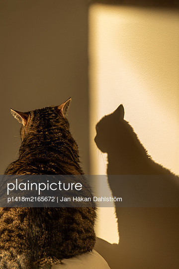 Cat and shadow in sunbeam - p1418m2165672 by Jan Håkan Dahlström