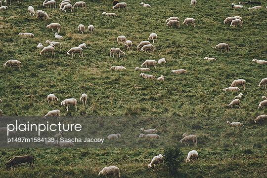 Schafe auf Wiese - p1497m1584139 von Sascha Jacoby