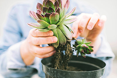 Woman's hands transplanting succulent into new pot. - p1166m2106658 by Cavan Images