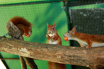 Three squirrels - p1221m1488249 by Frank Lothar Lange