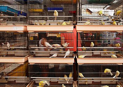 Bird market in Pisa - p382m2021698 by Anna Matzen
