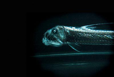 Tiefseefisch - p6640072 von Yom Lam