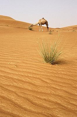 Kamele in der Wueste - p2685210 von Christof Mattes