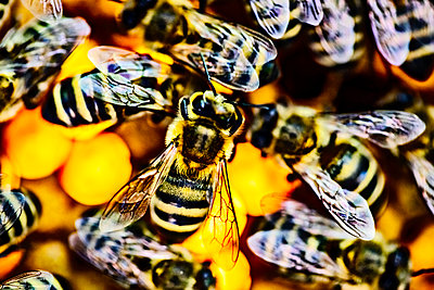 Close-up of bees on honeycomb - p300m2140516 by Jan Tepass