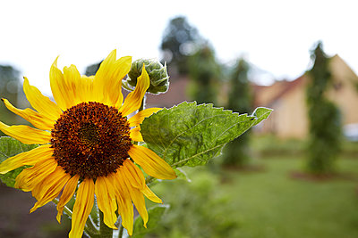Close-up of sunflower - p312m974878f by Magnus Ragnvid