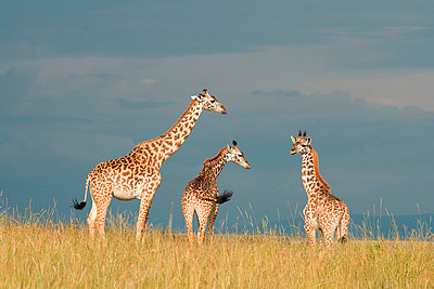 Giraffe - p5330173 by Böhm Monika