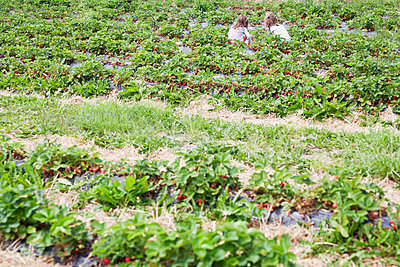 Strawberry plantation - p699m2007803 by Sonja Speck