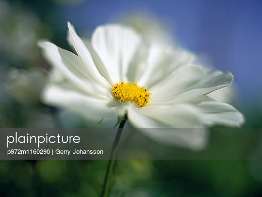 Daisy flower close-up - p972m1160290 by Gerry Johansson