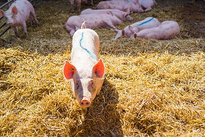 Schweine - p1053m793709 von Joern Rynio