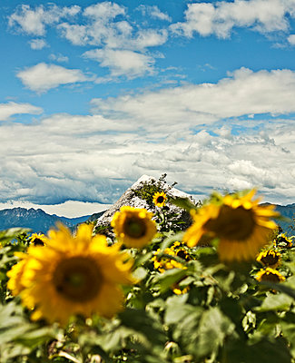 Sunflowers in the mountains, Italy - p300m2298865 von LOUIS CHRISTIAN