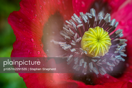 Close up artistic soft focus photograph of a large red poppy flower in full bloom. - p1057m2291535 by Stephen Shepherd