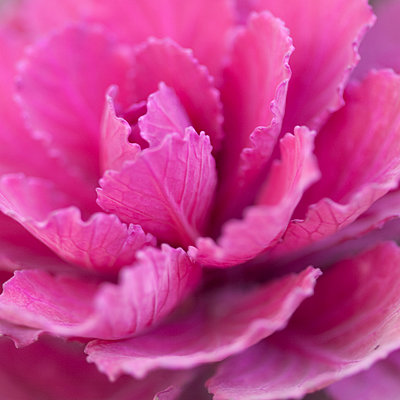 Close up of pink cabbage plant - p1023m903333f by Marie Stone