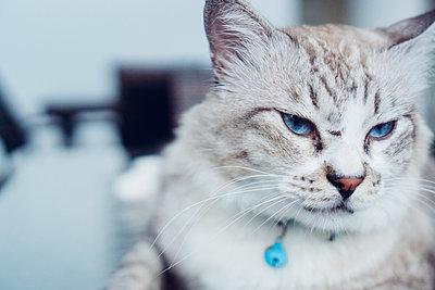 Sibirische Katze - p1417m1502204 von Jessica Lia