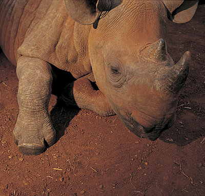 Black rhinoceros - p3430365 by James Balog
