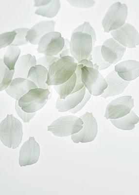 White petals - p971m1171747 by Reilika Landen