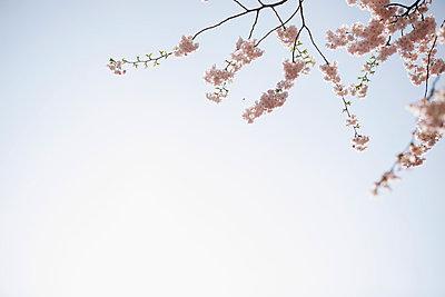 Baum mit rosa Blüten im Sonnenschein - p586m962684 von Kniel Synnatzschke
