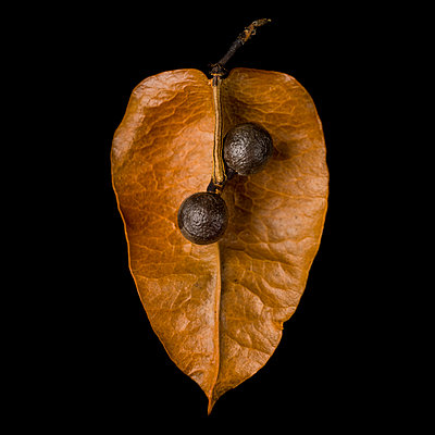Goldenrain Tree, Koelreuteria paniculata, Seed Pod against Black Background - p694m2068277 by Lori Adams