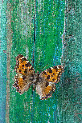 Butterfly on flaking green wood - p300m2078901 by Claudia Rehm