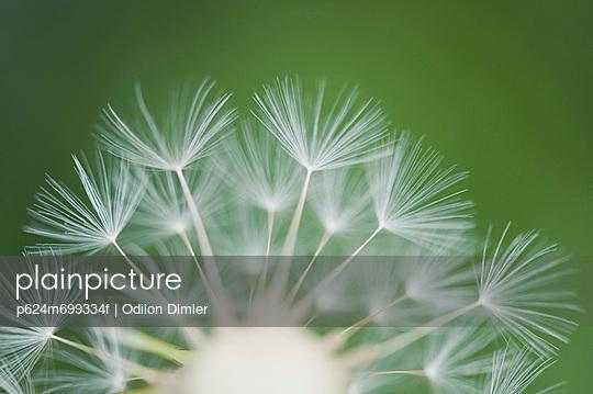 Dandelion seedhead, close-up - p624m699334f by Odilon Dimier