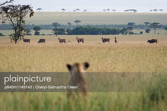 African lioness sitting patiently in the long grass, watching herd of Common eland (Tragelaphus oryx). Focus on eland. Grumeti Reserve, Northern Tanzania. - p840m1149143 by Cheryl-Samantha  Owen